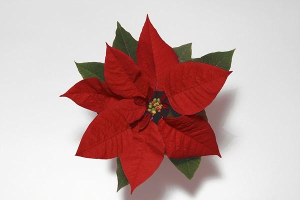 Joulut%E4hti+punainen+75488
